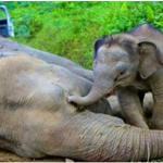 لن تصدق ماذا فعل فيل يبلغ من العمر 3 اشهر يحاول يائساَ ايقاظ والدتة !! سبحان الله