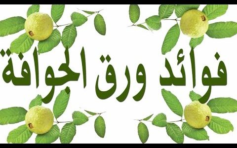 نتائج أوراق الجوافة المذهلة لتحفيز نمو الشعر التالف وفوائده لجسم الإنسان