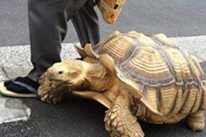 لن تصدق ماستراه يابانى عجوز يقوم بنزهة مع سلحفاة عجوز في شوارع طوكيو لاكثر من 20 عاماَ