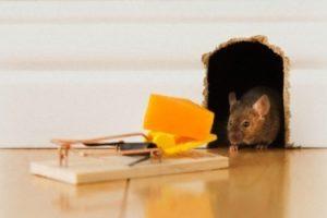 الاضرار التي تجلبها الفئران والامراض التي تنتج عنها مع 6 طرق للتخلص منها