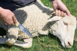 اختيار الذبيحة : طرق أختيار الأضحية ( خروف – بقر – جاموس ) وشروط اختيارها